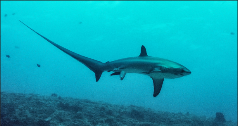 Live birth of Thresher shark