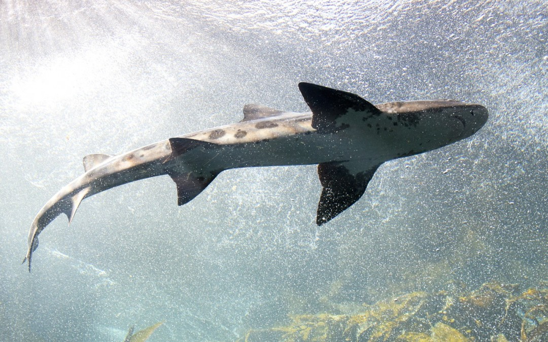 Acidity in the oceans could adversely affect shark's ability to source food