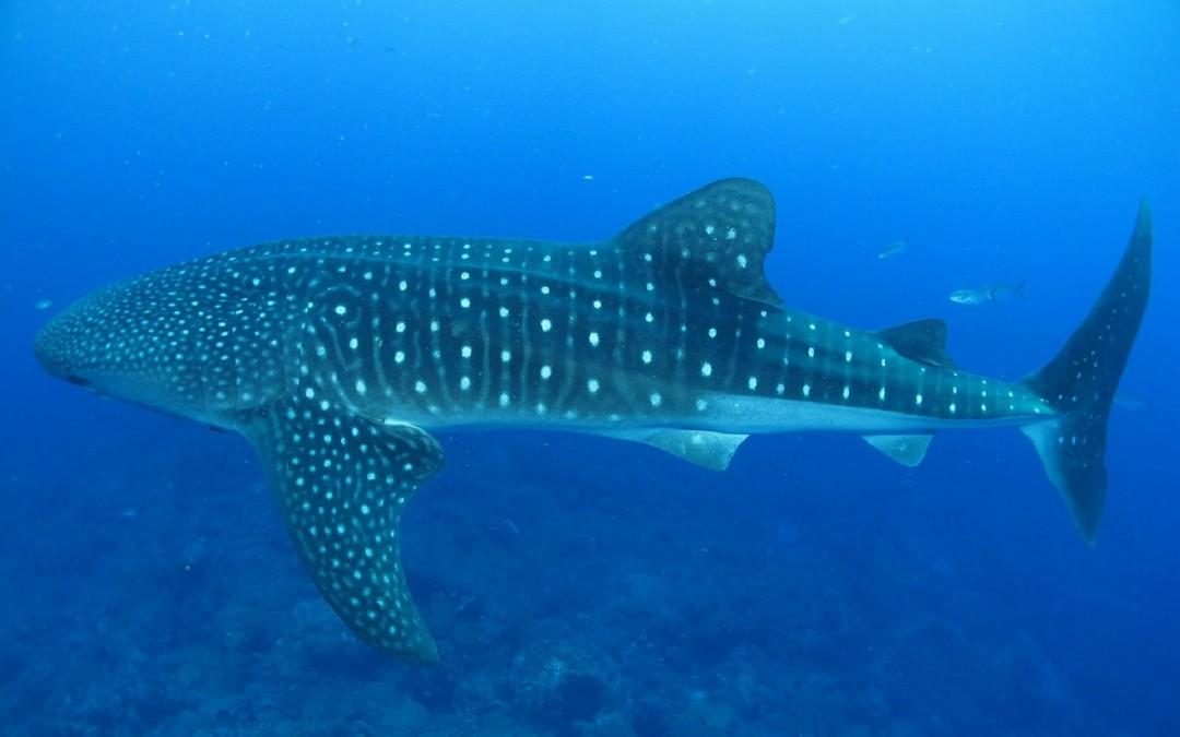 Galapagos Conservation Trust To Tag Whale Sharks