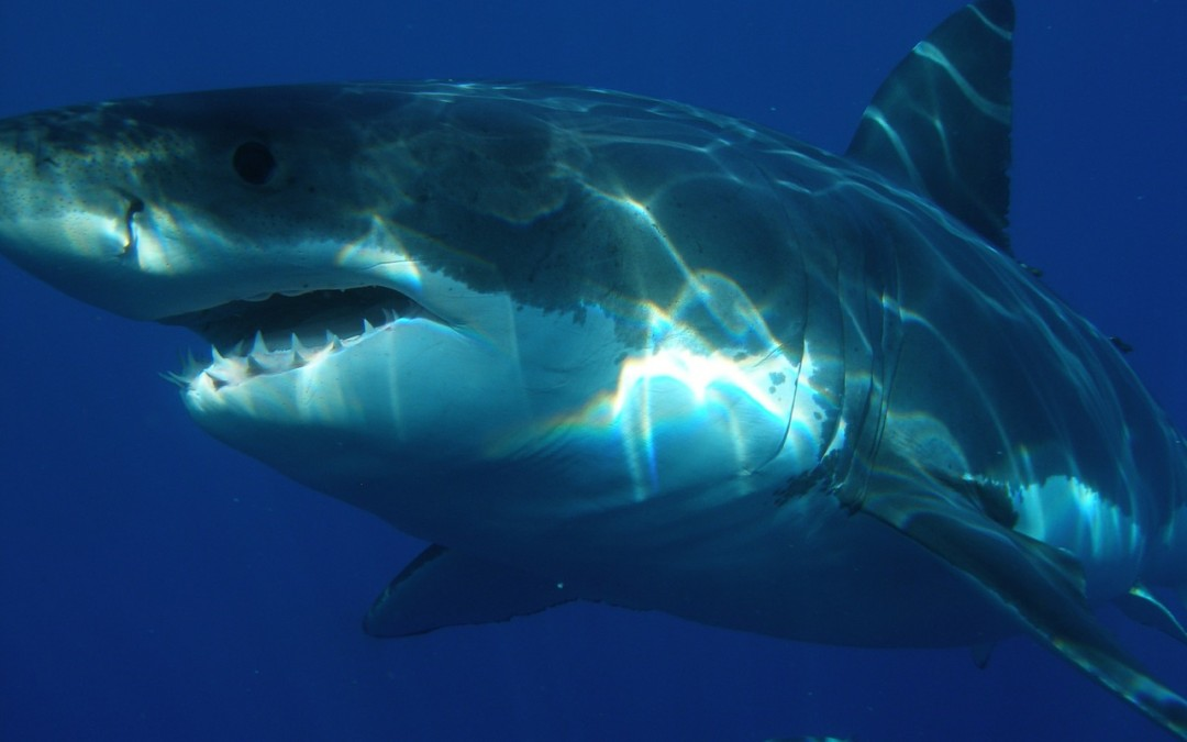 Great White Sharks in U.S Waters